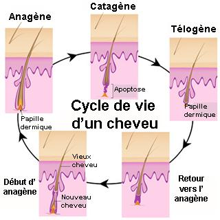 cycle d'un cheveu